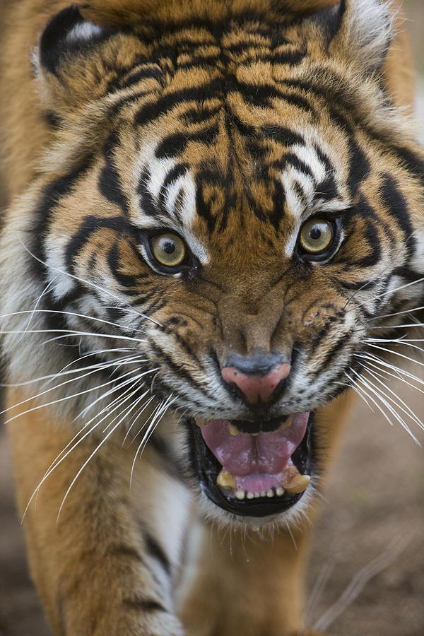 Sumatran Tiger Male Snarling Native Photograph by San Diego Zoo