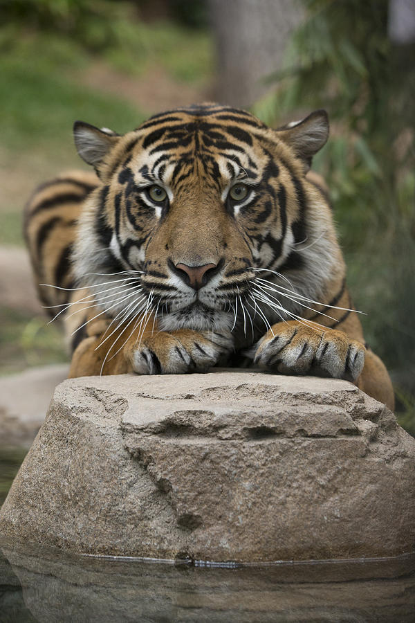 San Diego Zoo Photograph - Sumatran Tiger by San Diego Zoo