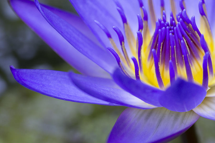 Blue Lotus Photograph - Summer Abundance by Priya Ghose