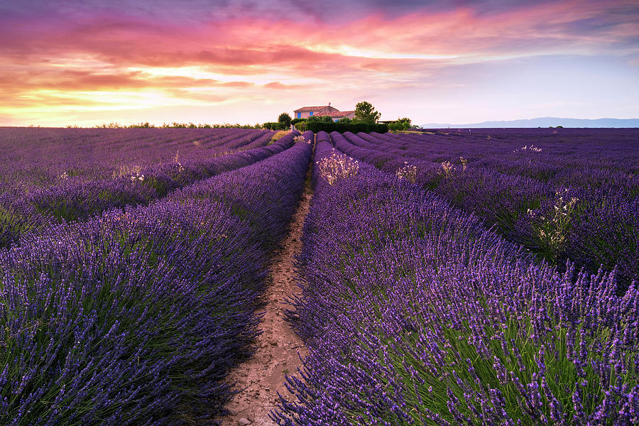Lavender Photograph - Summer At Valensole by Richard Susanto