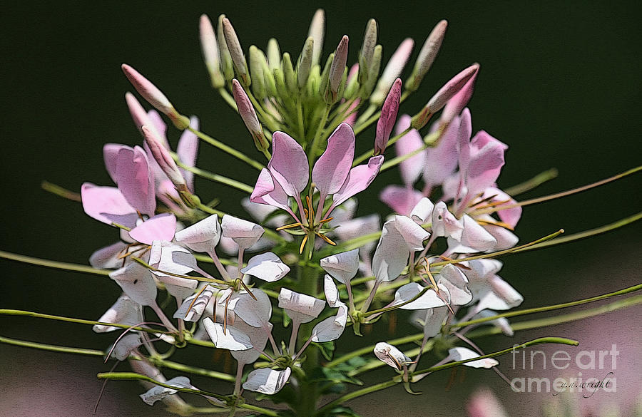 Summer Blossom Photograph