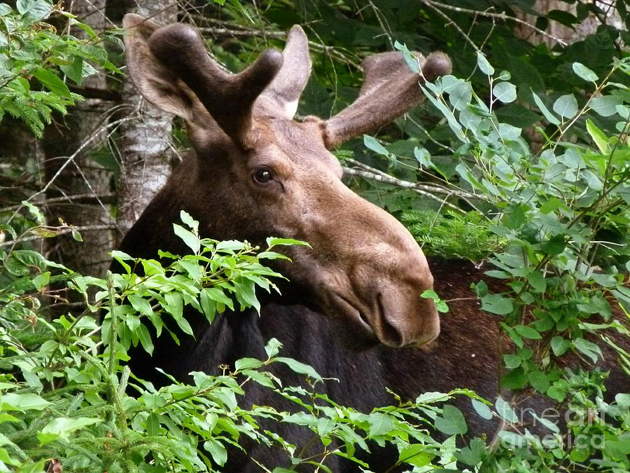 Moose Photograph - Summer Bull Moose  by Christine Stack