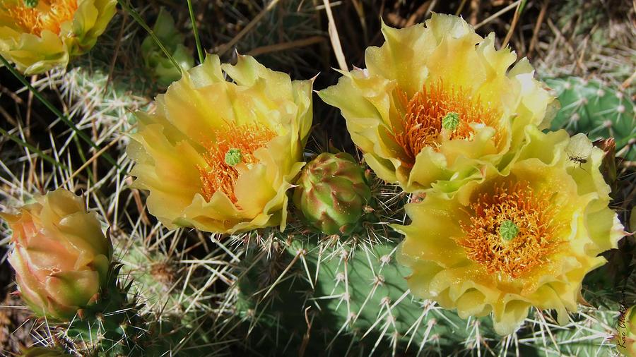 Cactus Photograph - Summer Cactus Blooms by Kae Cheatham