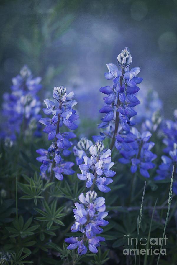 Lupin Photograph - Summer Dream by Priska Wettstein