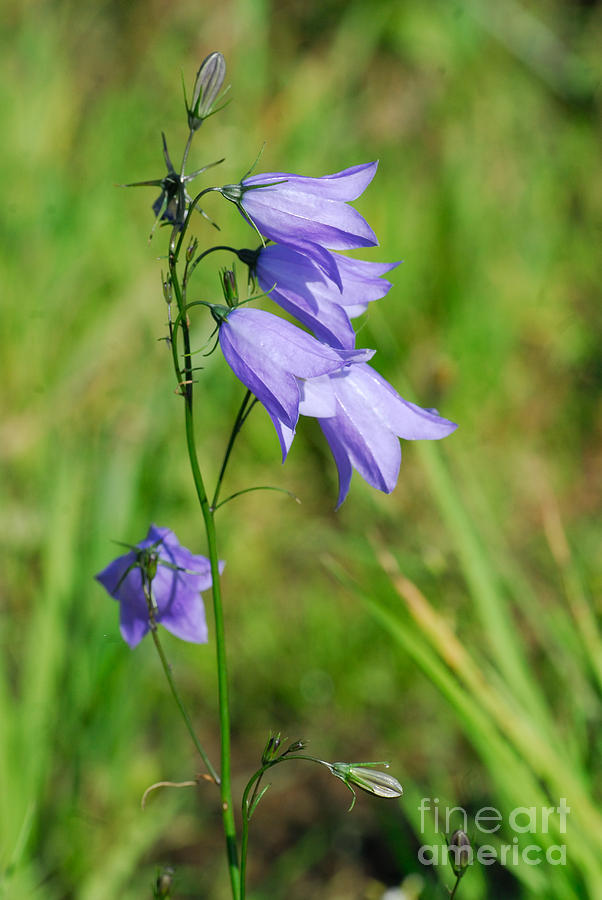 Harebell Photograph - Summer Flowering Harebell by John Kelly