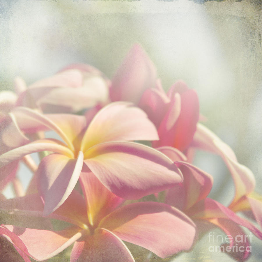 Pink Plumeria Photograph - Summer Love by Sharon Mau