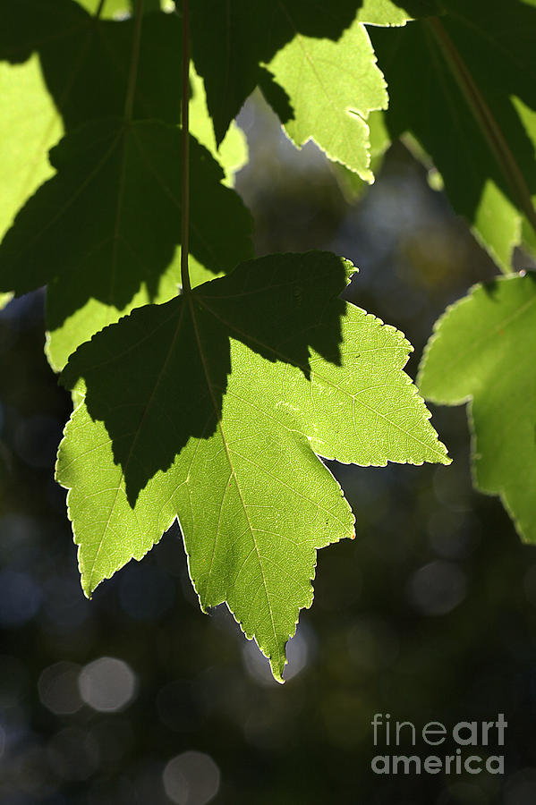 Leaves Photograph - Summer Maple Leaves by Joy Watson