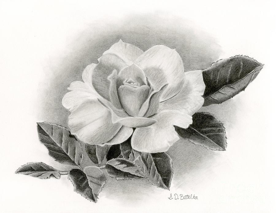 Rose Drawing - Vintage Rose by Sarah Batalka