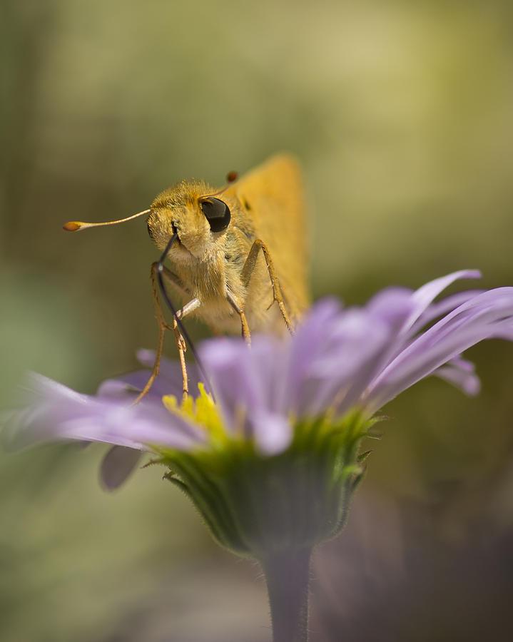 Butterfly Photograph - Summer Skipper by Priya Ghose