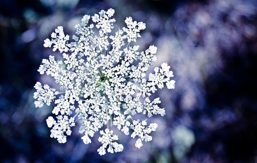 Flower Photograph - Summer Snowflake by David Forester