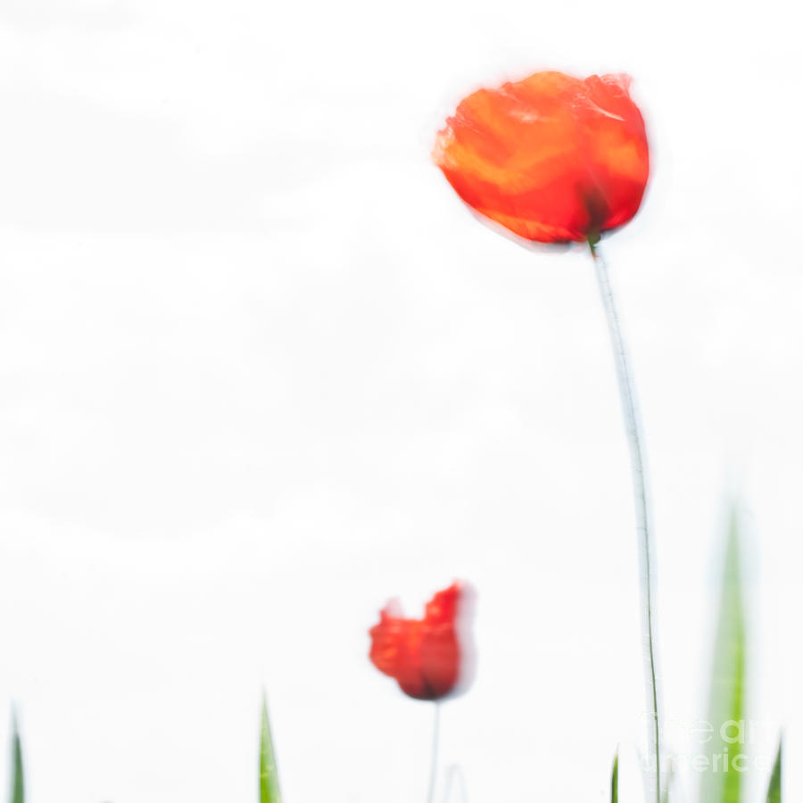 Poppy Photograph - Summer Song by Uma Wirth