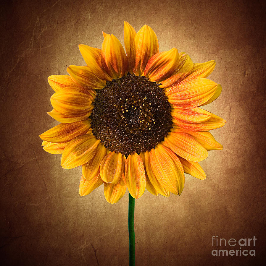 Summer Sunflower by Cindy Singleton