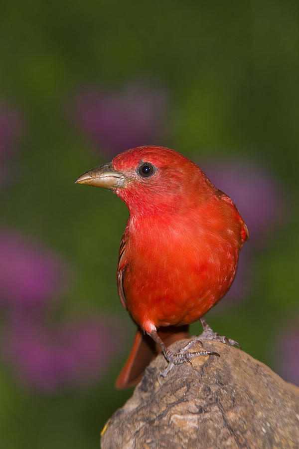 Summer Tanager Male Texas Photograph by Tom Vezo