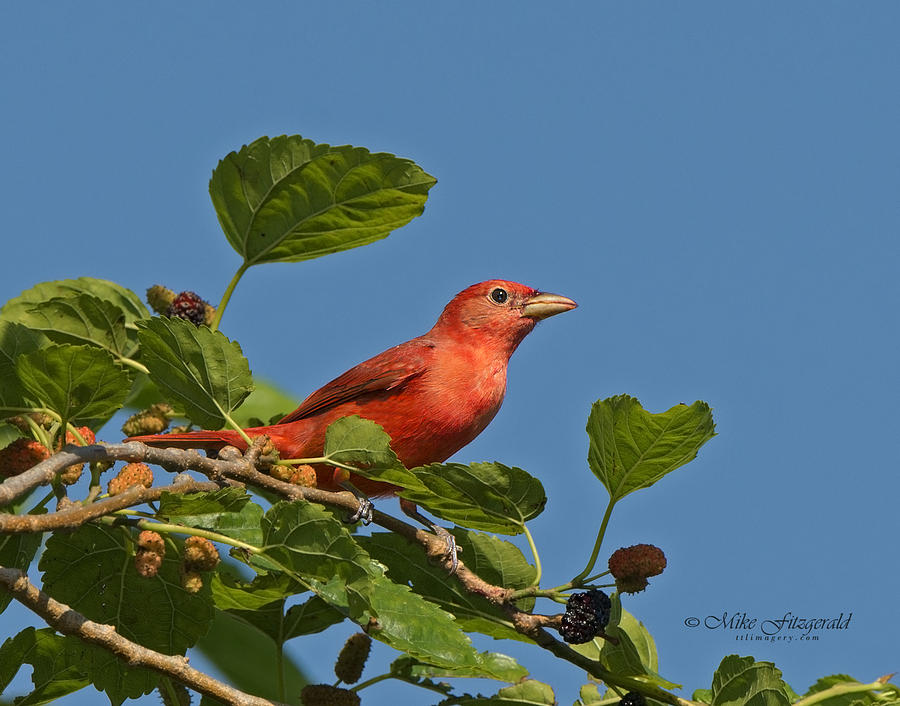 Florida Photograph - Summer Tanager by Mike Fitzgerald