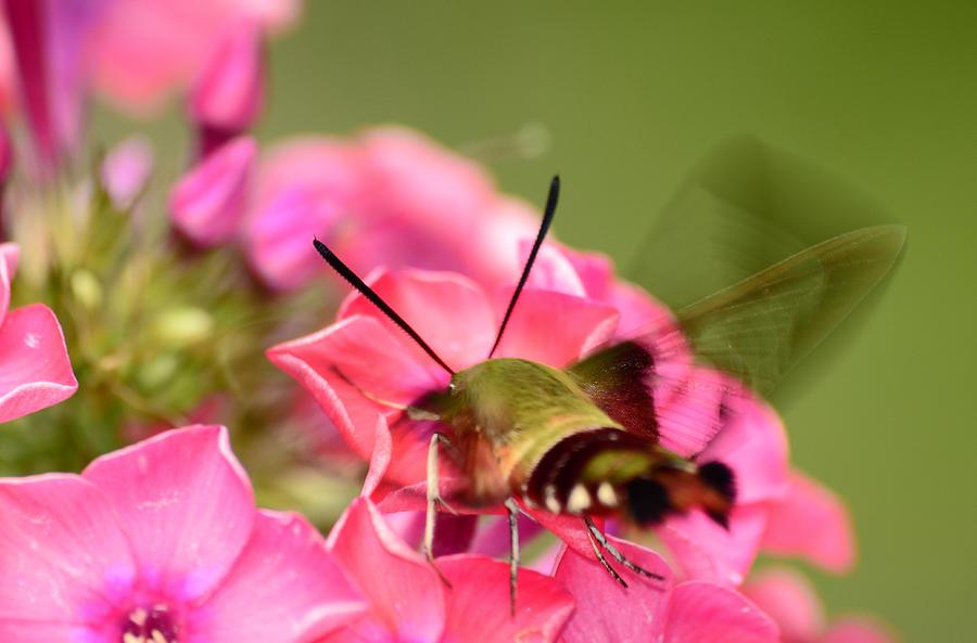 Hummingbird Moth Photograph - Summer Visitor by Lori Tambakis