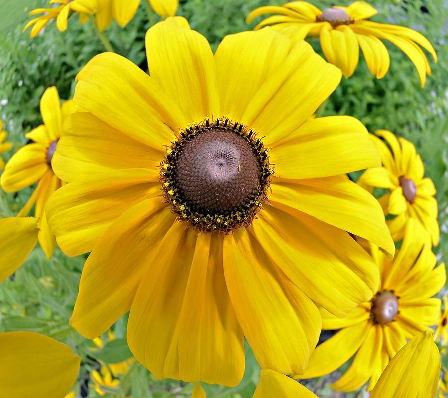 Daisy Photograph - Summers Bloom by Susan Leggett