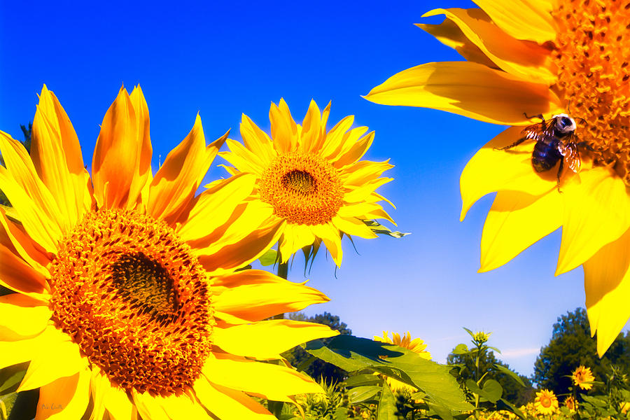 Sunflower Photograph - Summertime Sunflowers by Bob Orsillo