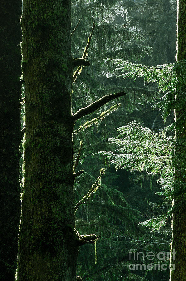 Spruce Photograph - Sun After Rain by Kim Lessel