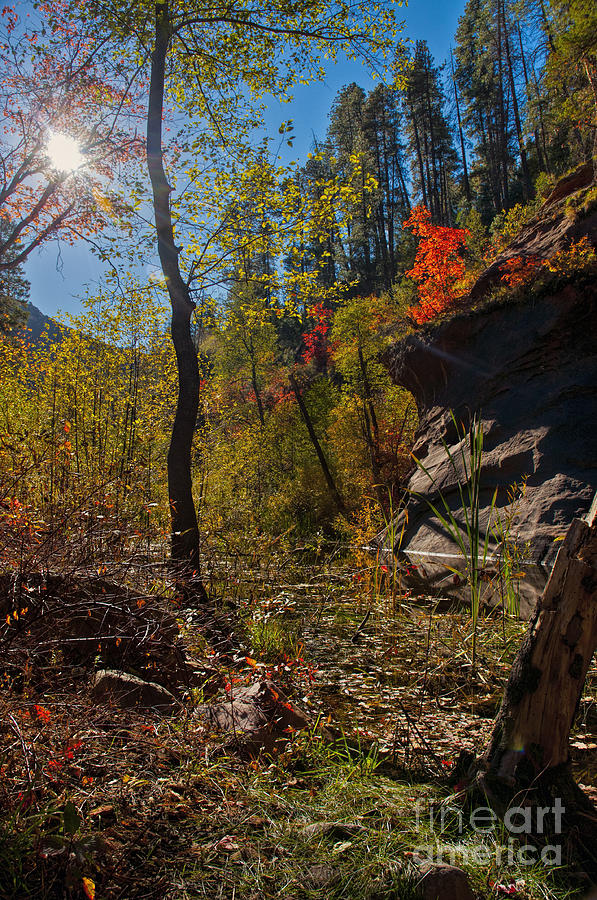 West Fork Trail Photograph - Sun And  The Tree by Brian Lambert