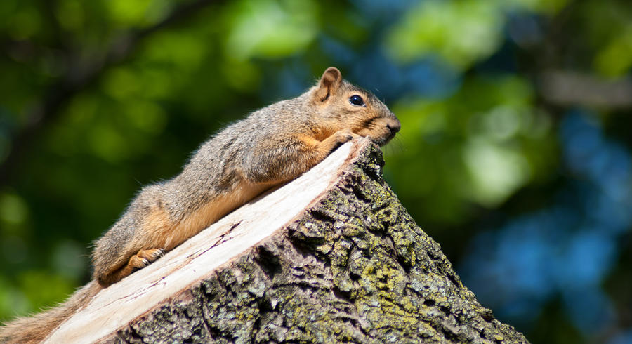 Squirrel Photograph - Sun Basking  by Optical Playground By MP Ray