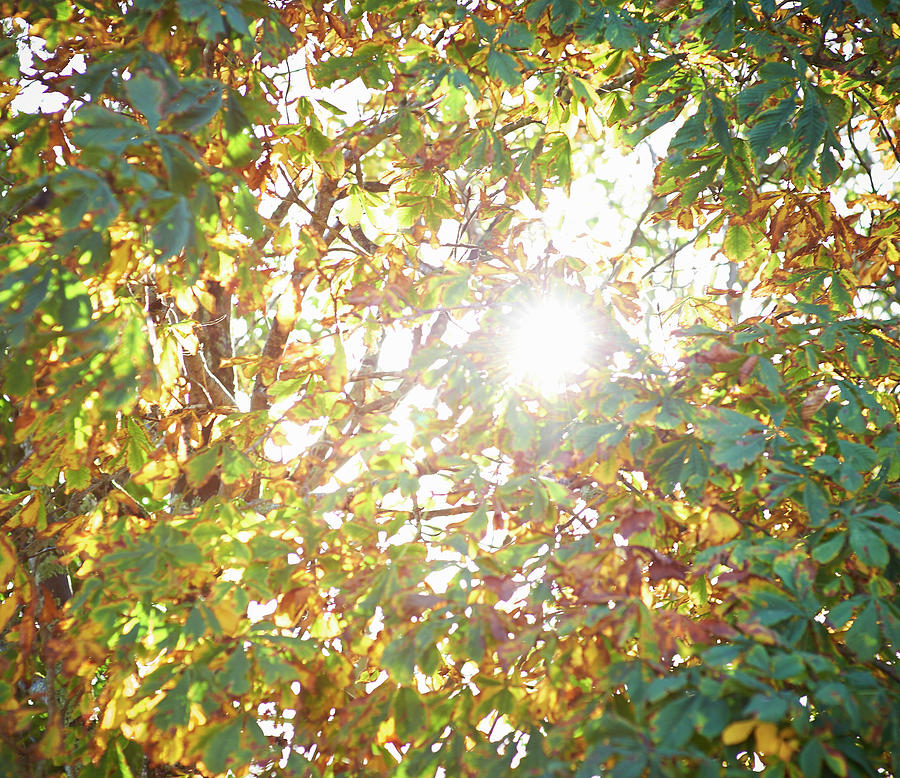 Sun Burst Through Autumn Leaves Photograph by Dougal Waters