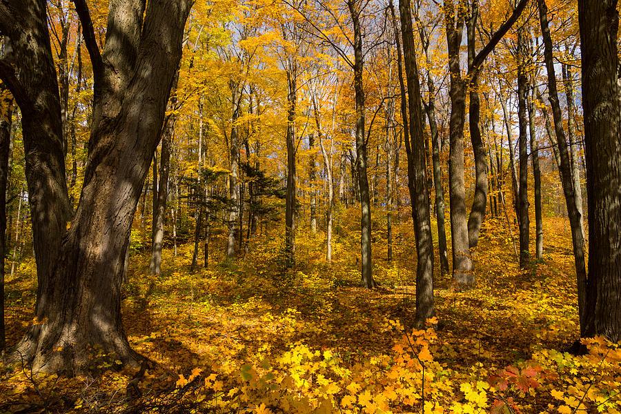 Fall Photograph - Sun Dappled Autumn Forest  by Georgia Mizuleva