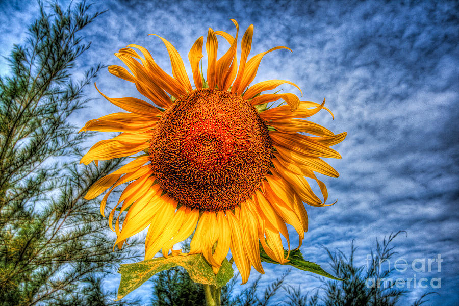 Hdr Photograph - Sun Flower by Adrian Evans