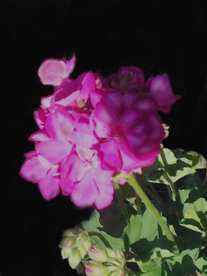 Floral Digital Art - Sun Kissed Geranium  by Christine Fournier