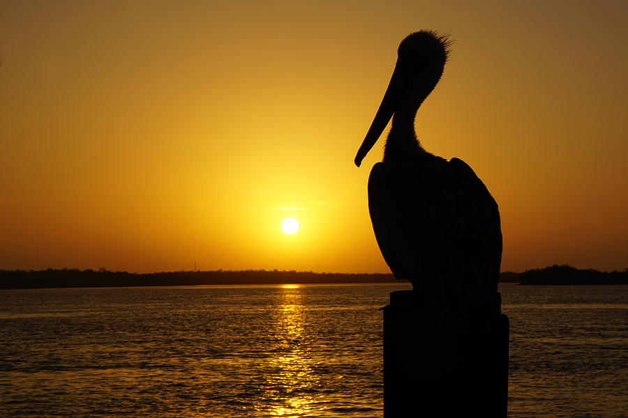 Sunrise Photograph - Sun Pelican by Joey Waves