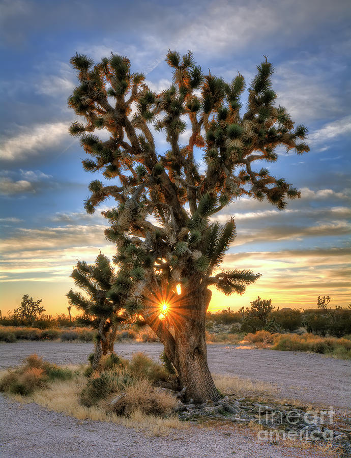Sun Photograph - Sun Rays Through A Joshua Tree by Eddie Yerkish