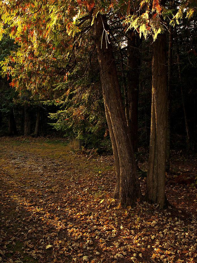 Trees Photograph - Sun Struck Cedars by Stan Wojtaszek