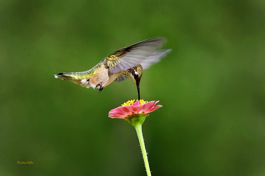 Hummingbird Photograph - Sun Sweet by Christina Rollo