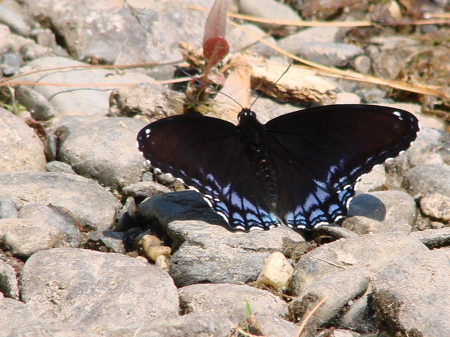 Blue Butterfly Photograph - Sunbathing Blue by Kristina Mitchell