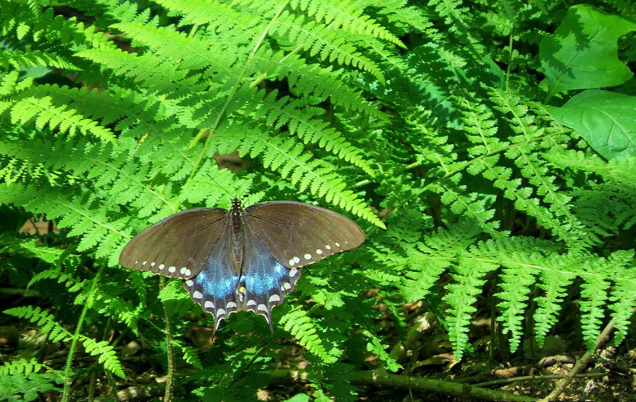 Blue Butterfly Photograph - Sunbathing Butterfly by Diane Mitchell