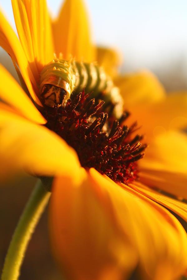Caterpillar Photograph - Sunbathing Caterpillar by Alicia Knust