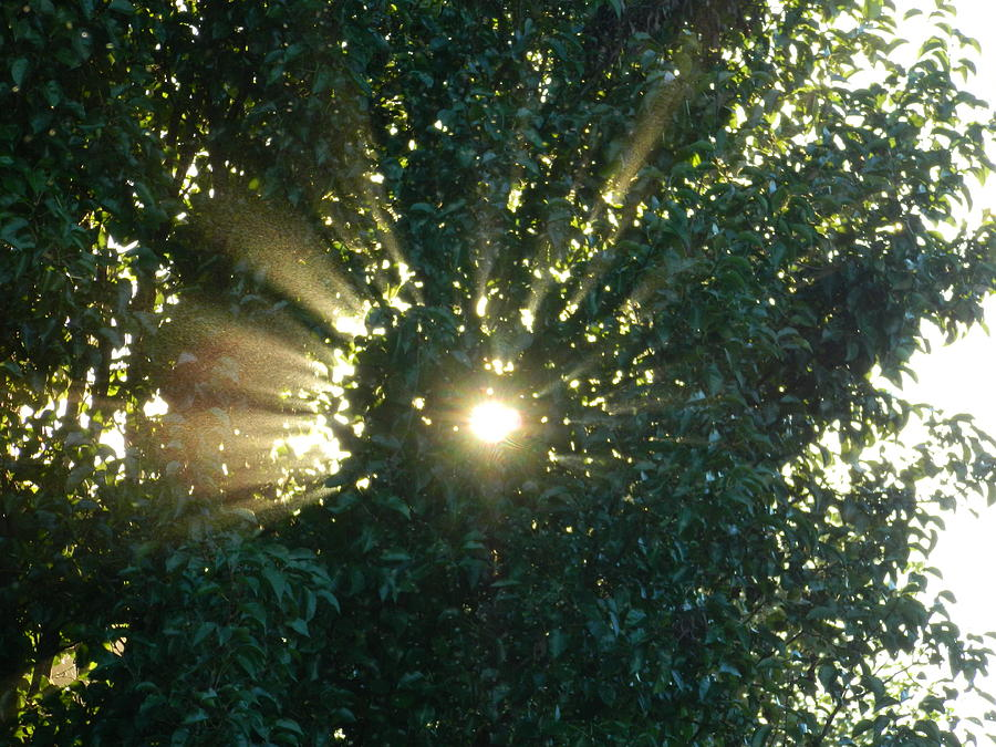 Tree Photograph - Sunbeams Through The Tree by Linda Brown