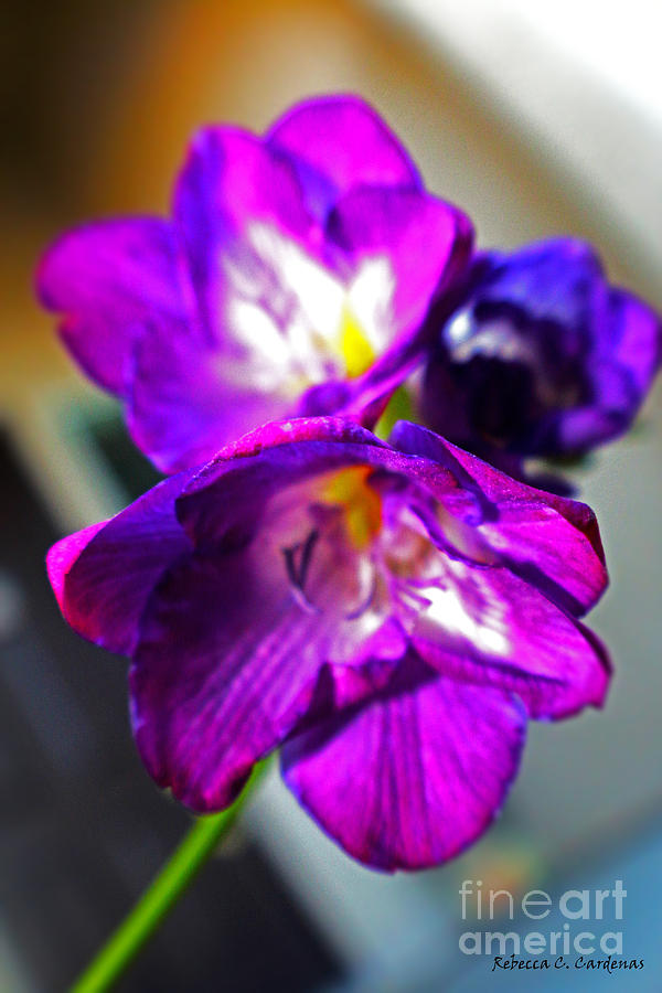 Violet Photograph - Sunburst Violet by Rebecca Christine Cardenas