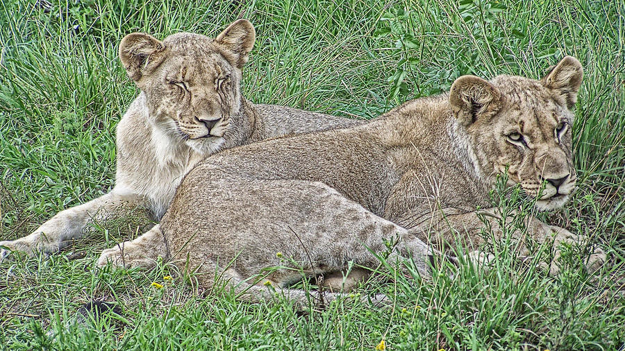 Lioness Photograph - Sunday Afternoon Nap by Douglas Barnard