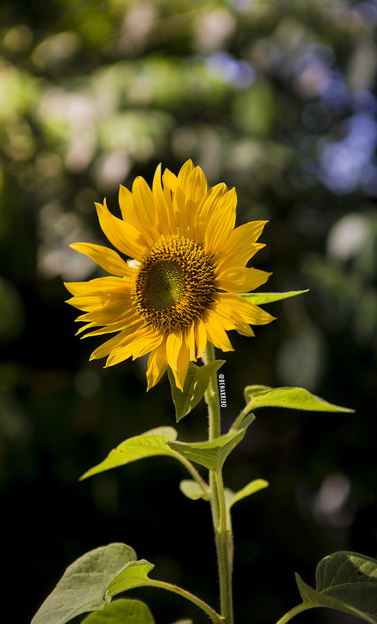 Flower Photograph - Sunday Sunflower by Benazio Putra