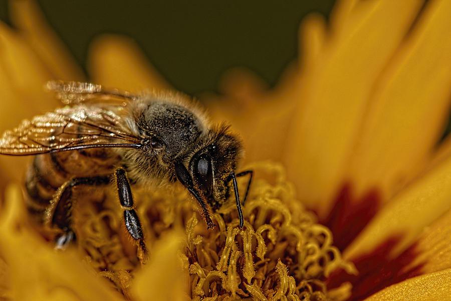 Sunfire Bee Photograph