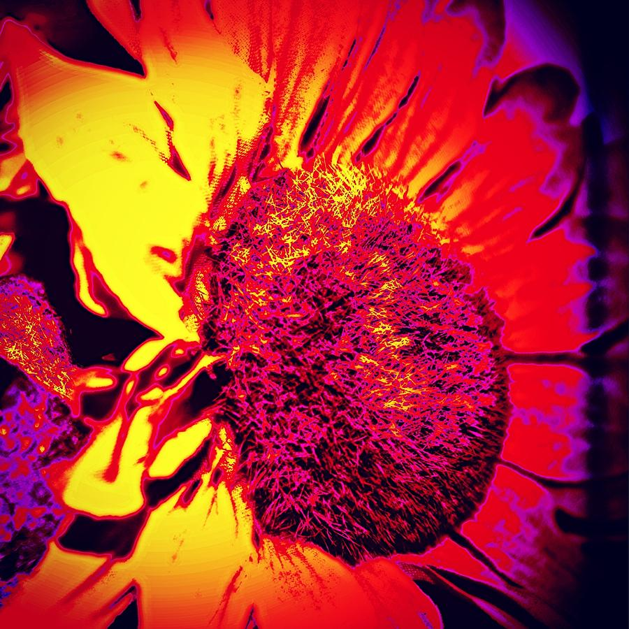 Sunflower 2 Photograph by J Roustie