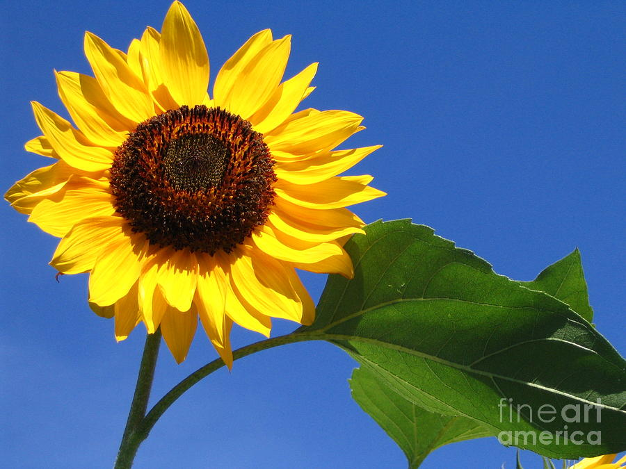 Sunflower Photograph - Sunflower Alone by Line Gagne