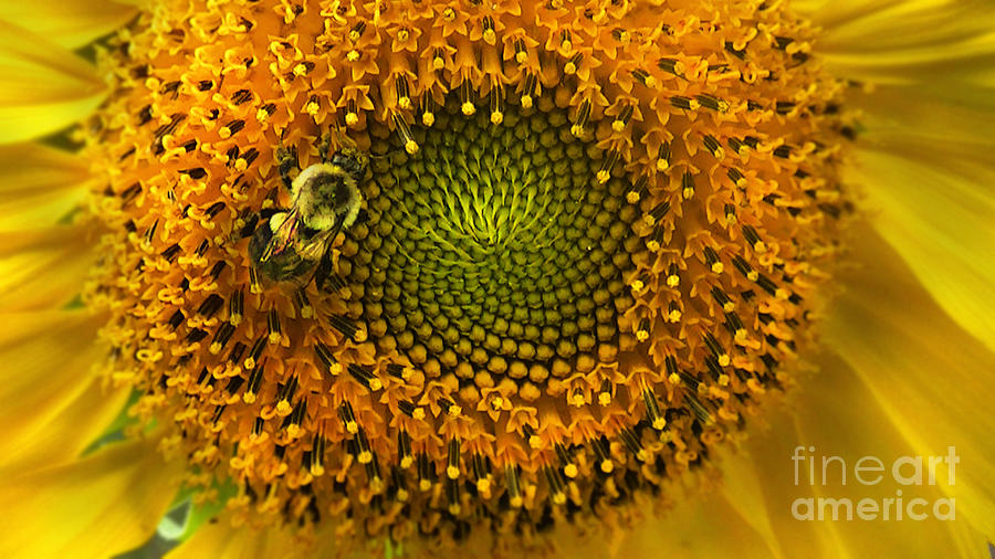 Sunflower Photograph - Sunflower An Bumble by Brittany Perez