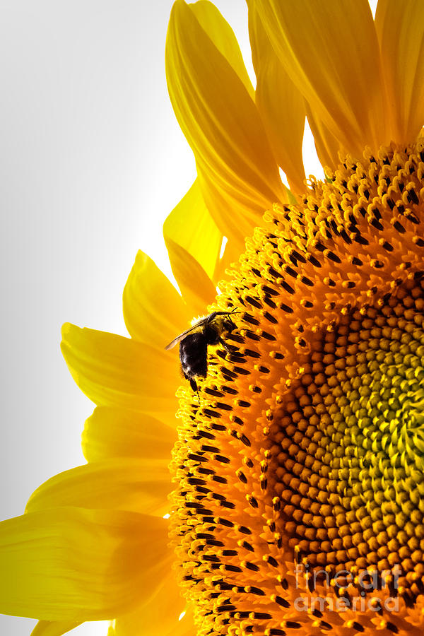Sunflower Photograph - Sunflower And Bee 2 by Kent Taylor