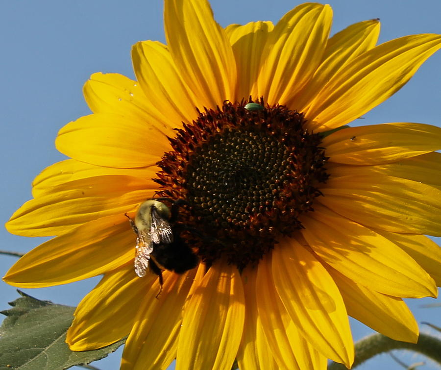 Bee Photograph - Sunflower And Bee by Victoria Sheldon