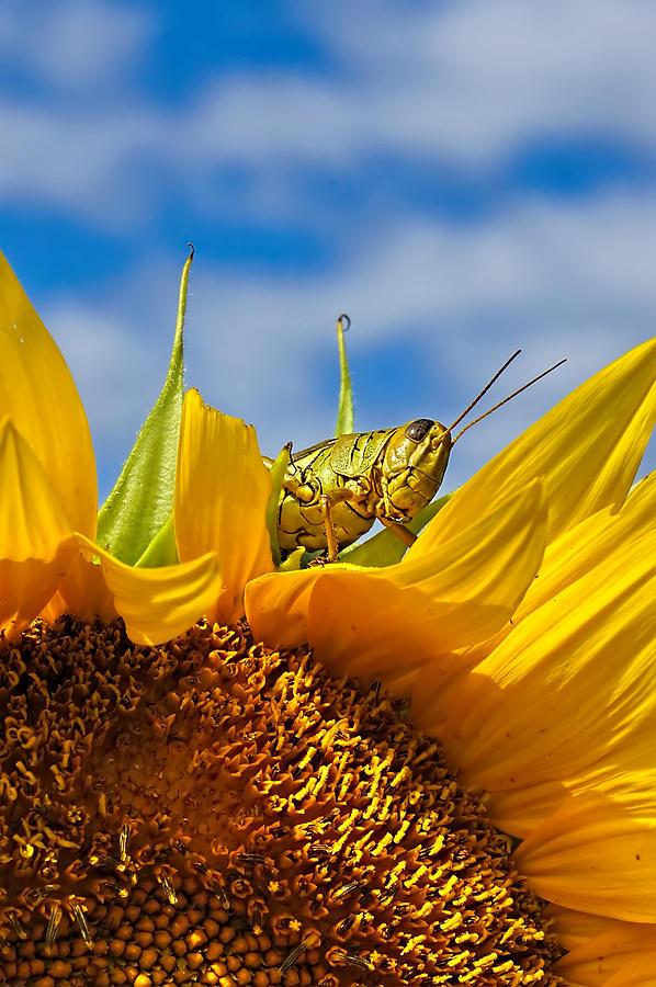 Sunflower And Grasshopper Closeup Photograph