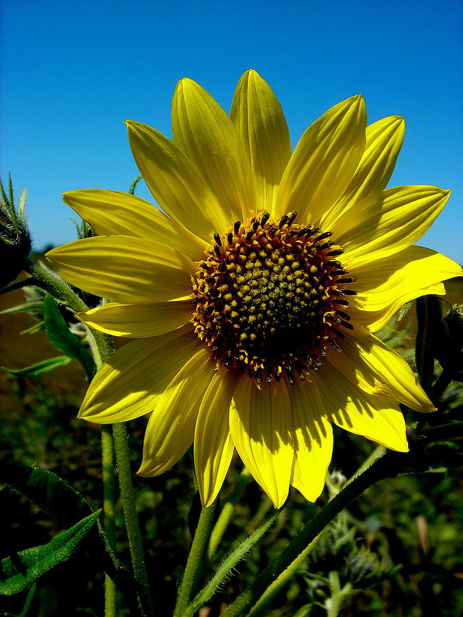Yellow Sunflower Photograph - Sunflower by Andrea Galiffi