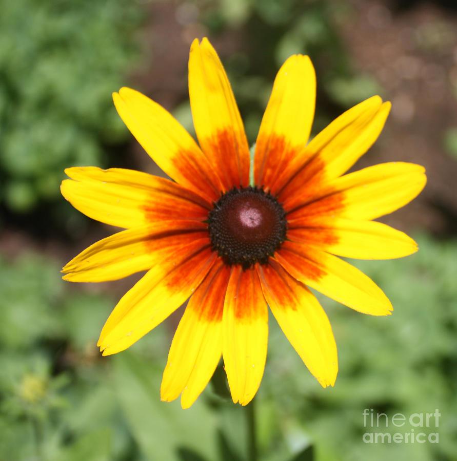 Telfer Photograph - Sunflower At Full Bloom  by John Telfer