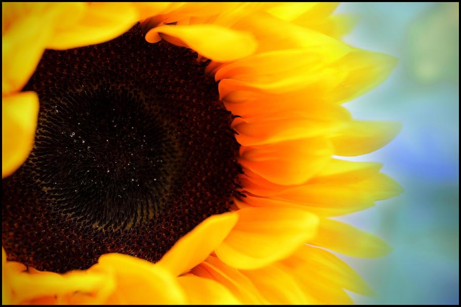Sunflower Photograph - Sunflower by Aya Murrells