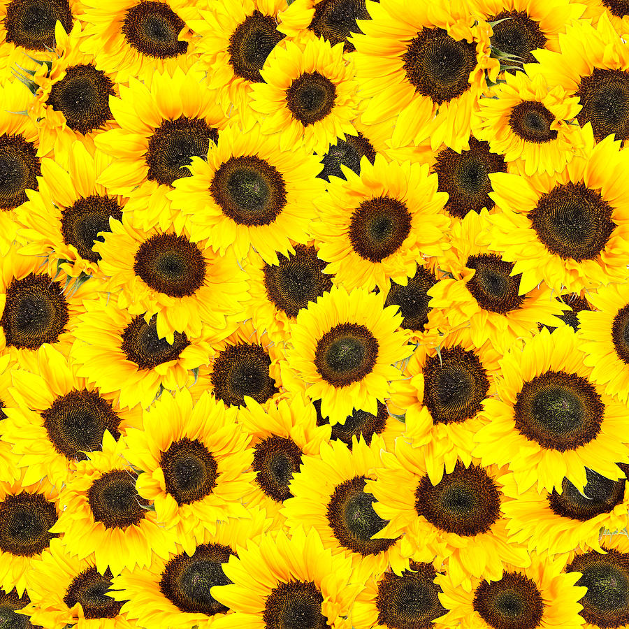 sunflower background image collections wallpaper and
